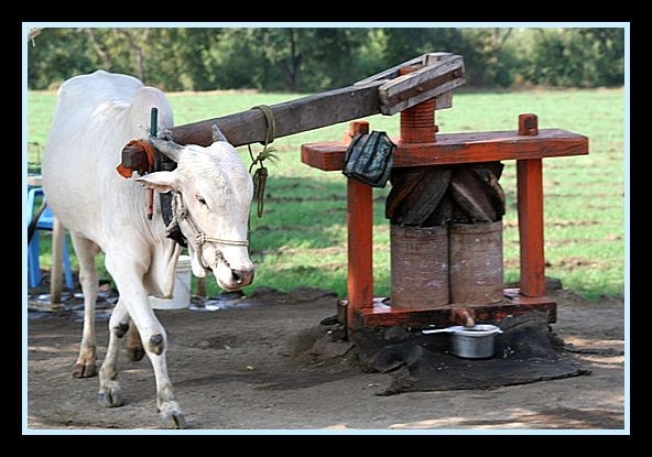 ox-are-used-to-extract-sugarcane-juice_l