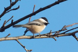 black-capped-chickadee-17_l