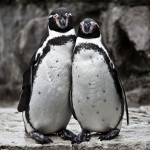 cute-penguin-couple-explored_l