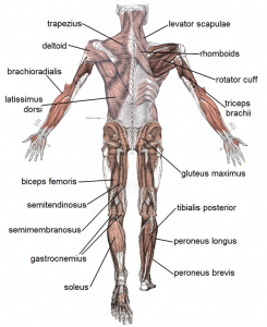muscle-posterior-labeled_l